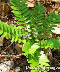 Hình ảnh cây mật nhân